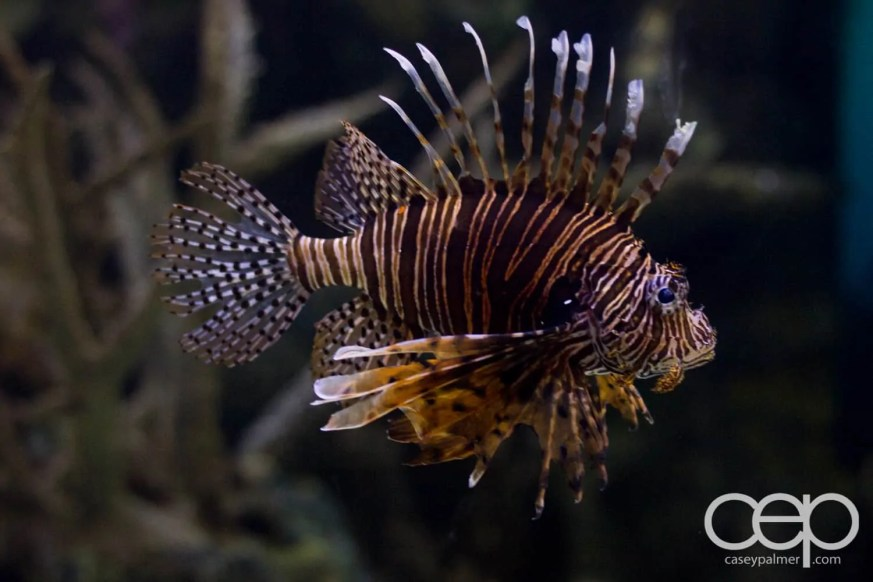 Shark Reef Aquarium at Mandalay Bay — Lionfish