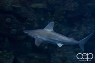 Shark Reef Aquarium at Mandalay Bay — Grey Shark