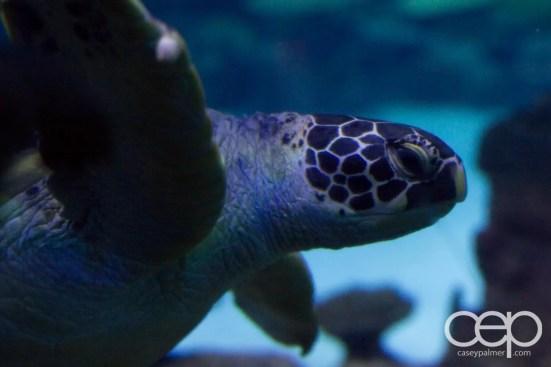 Shark Reef Aquarium at Mandalay Bay — Green Sea Turtle