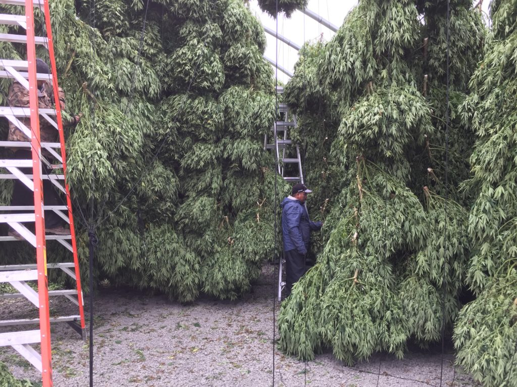 Global Hemp Group Announces Harvest Update on their CBD Hemp Farm in Scio Oregon