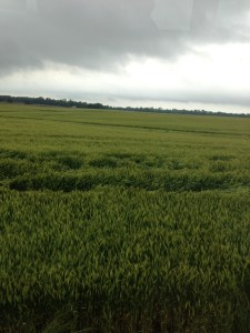 Here is the wheat at the Huey farm.  Looking pretty good.