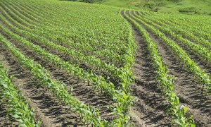 Here is a picture of a corn field planted with this new swath control technology.  The border of end rows are on the right side of the picture, and you can see how each row of the planter stopped planting at just the right position to eliminate overlapping.