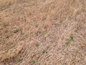 """A pretty uniform stand of soybeans is emerging from the wheat stubble.  This is another place where I appreciate the 10"""" rows."""