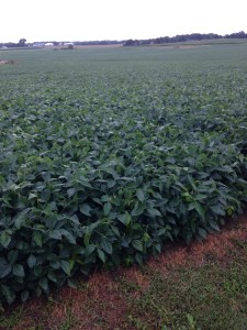 Soybeans at the home farm are responding well to the helpful rain we received last night.