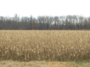 The last remaining 2014  corn field in the neighborhood.  It will likely be 2015 before harvest arrives in this one!