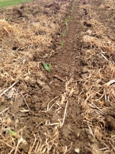 Here comes the corn... planted 4/29
