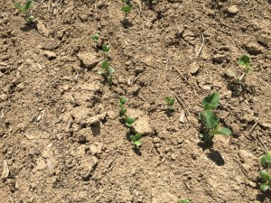 Even the latest-planted soybeans are making good progress!