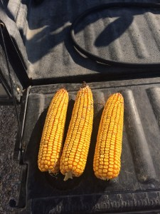 Brandon pulled some ears from the Roberson farm, just east on IN 550. His moisture test reported at 25.5%. It's our experience that you take this sample and add 2 points to get the moisture reading that gathering all the ears would give.