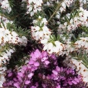 BREZO (Erica gracilis)