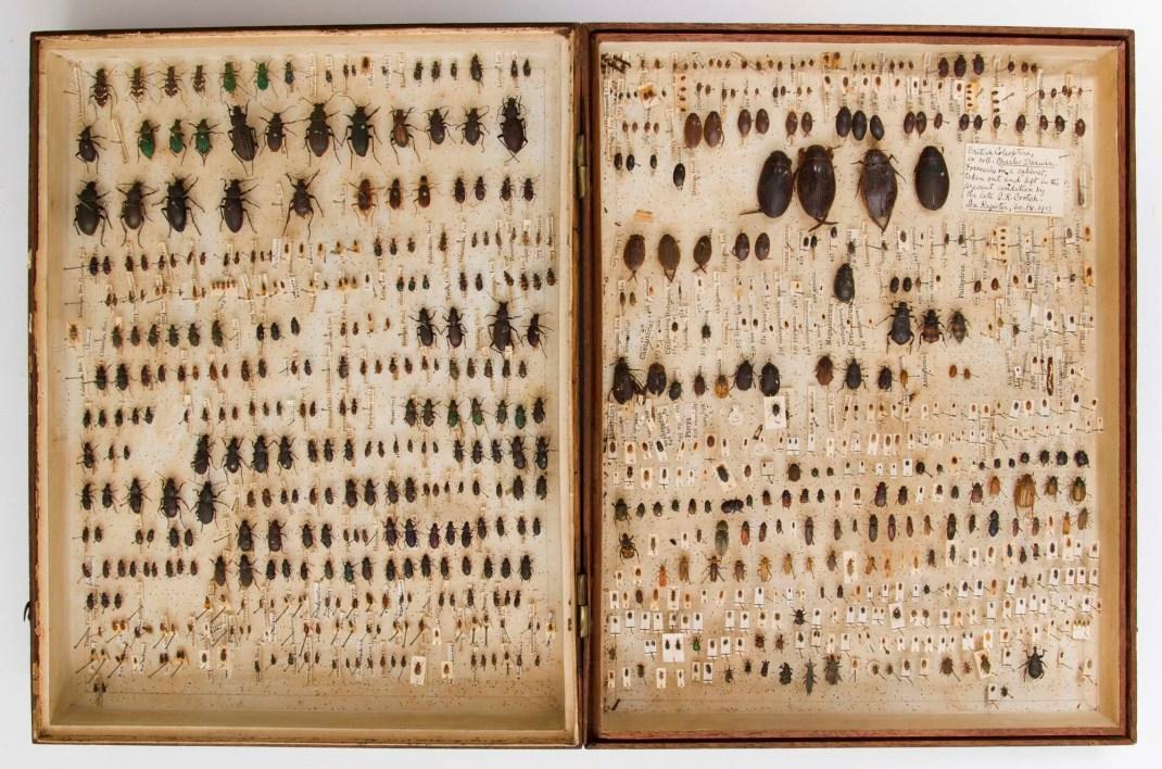 Darwin beetles