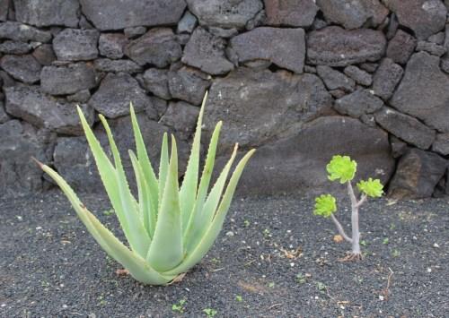 Aloe vera mit Nachbar