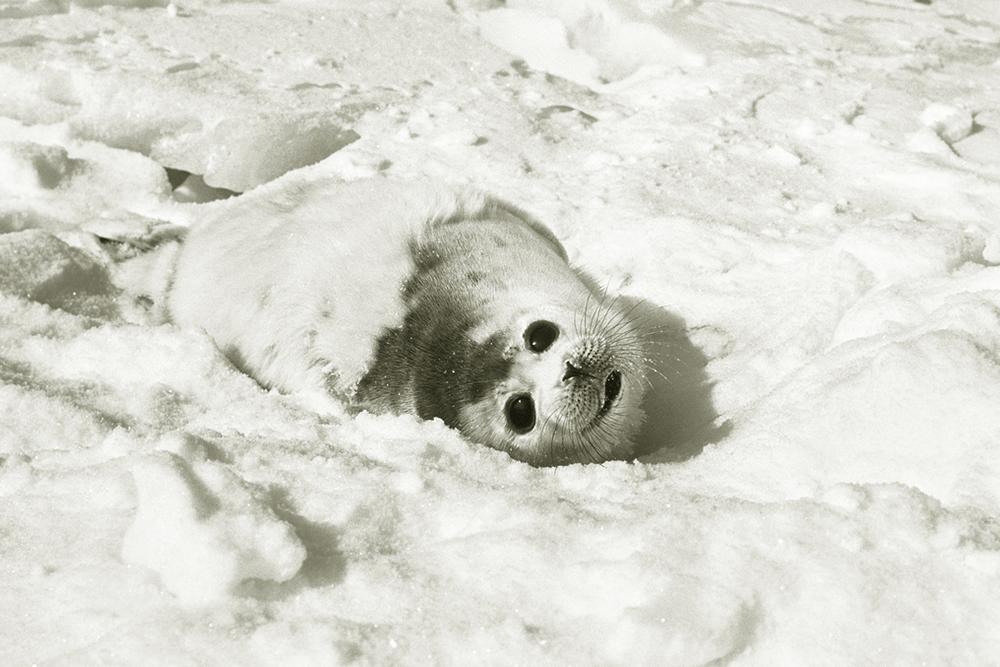 Каспийского тюленя могут внести в Красную книгу