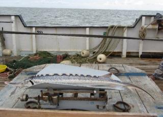 Российские учёные провели мониторинг осетровых рыб в Северном Каспии
