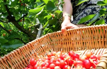 picking fresh organic cherries tuscan yoga retreat in cortona with yoga master and caspin journeys