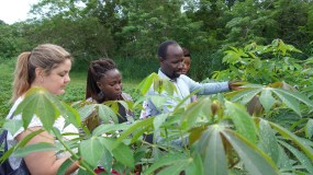 Cassava tests in Sierra Leone