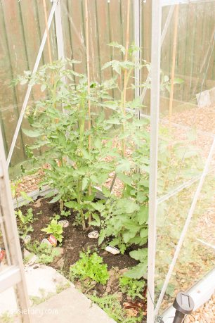 Growing tomato plants in greenhouse