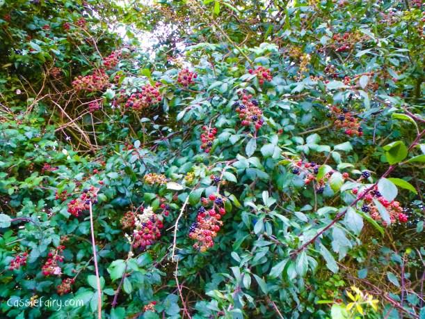 Blackberry picking autumn