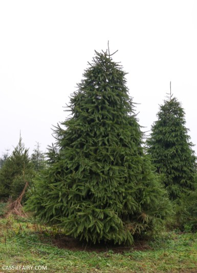 buying local british christmas tree blackthorpe barn suffolk-17