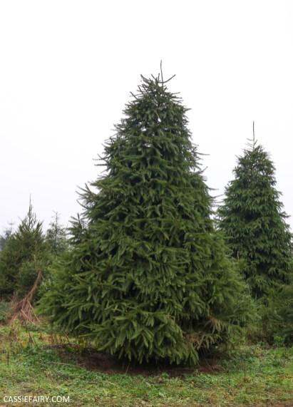 buying local british christmas tree blackthorpe barn suffolk-17
