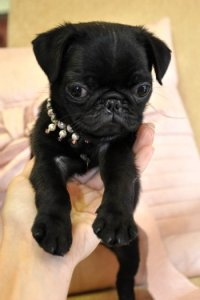 Pug Puppies for sale Florida, Tiny pug puppies for sale ...
