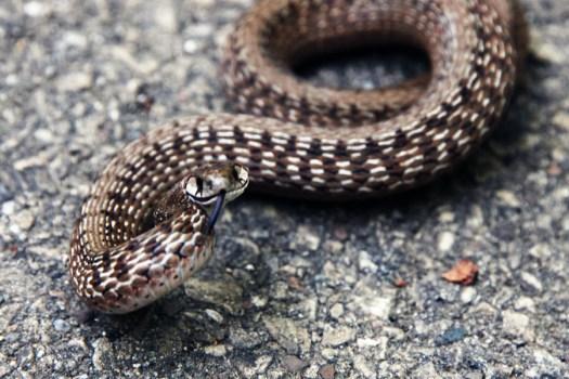 dekay's snake brown snake storeria dekayi smiling