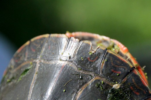 marked painted turtle notch marginal scute