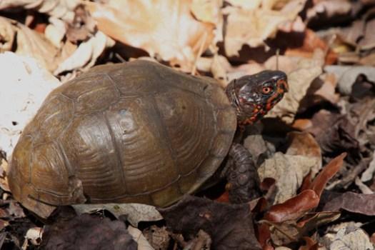 male Eastern box turtle Missouri