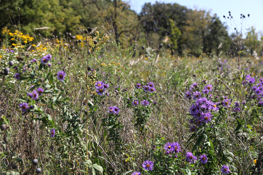 New England aster at Jay Woods