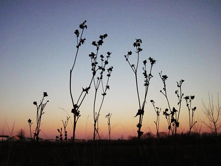 Blackberry Trail Silphium perfoliatum cup plant winter silhouette