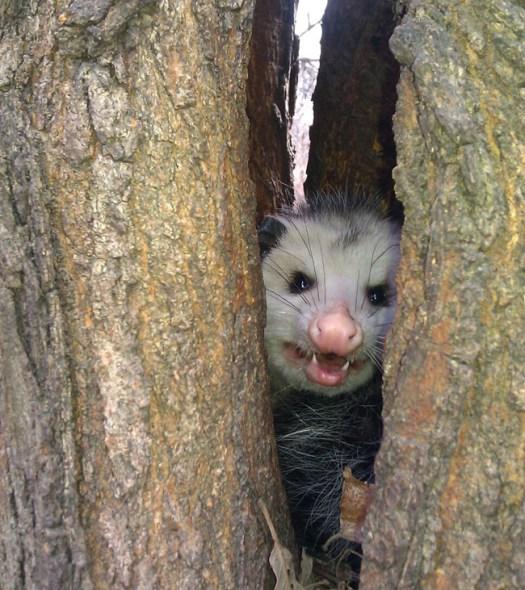 terrifying opossum inside mulberry tree morus alba split