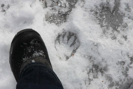 raccoon tracks winter ice Procyon lotor