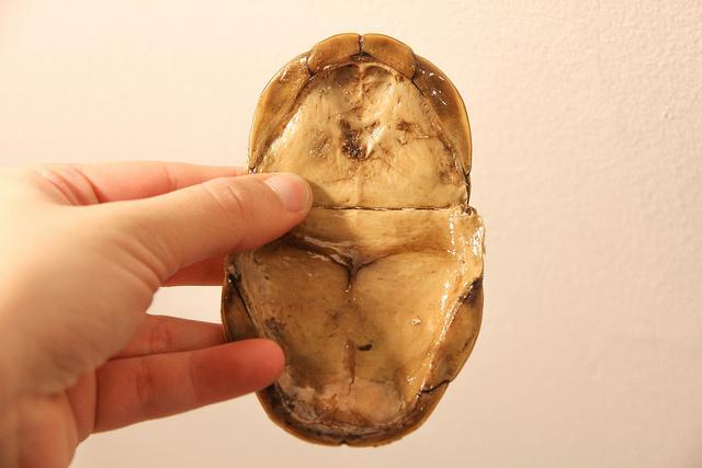 eastern box turtle shell plastron inside