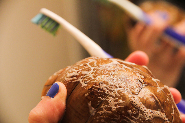 eastern box turtle shell cleaning toothbrush