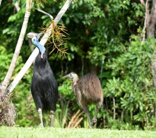 Male Cassowary & chick