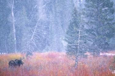 Moose in Snowstorm