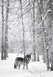 Wolf B&W web