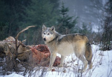 Wolf over Elk 600-24-1