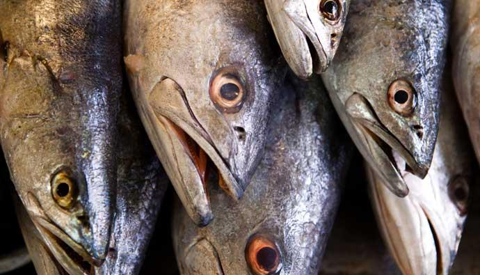 White sea bass heads