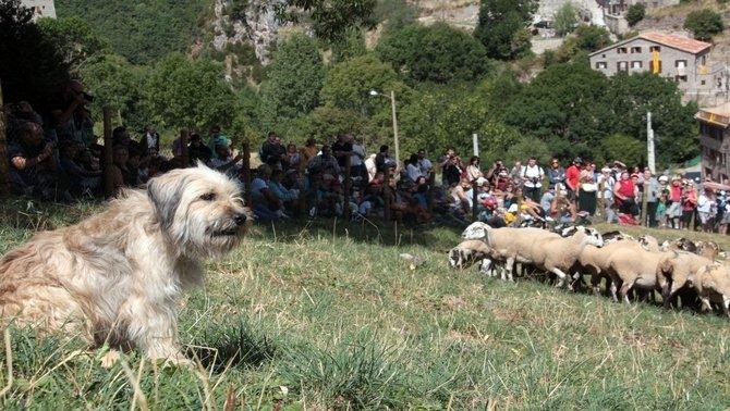 Imatge d'arxiu del Concurs Internacional de Gossos d'Atura de Castellar de n'Hug. A primer pla un dels gossos, al fons un ramat d'ovelles.(Horitzontal).