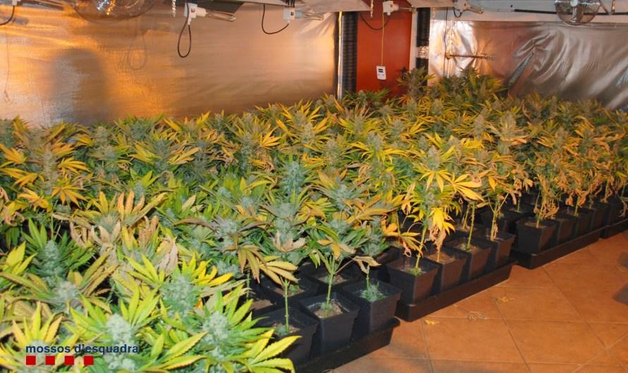Desmantellat un punt de cultiu de marihuana al Bages.