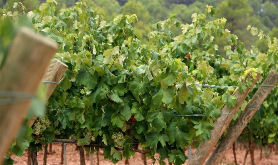 Una molt bona notícia vitivinícola