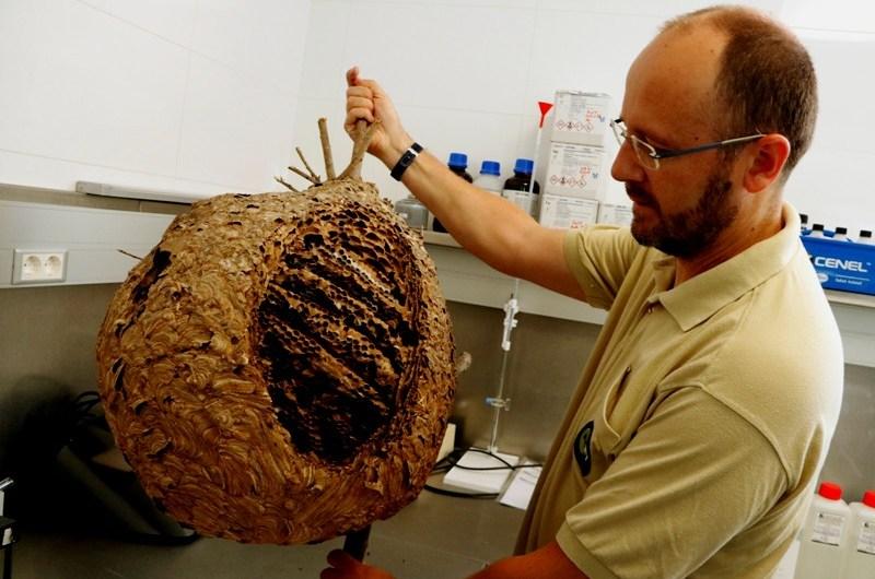Així eliminen un niu de vespa asiàtica