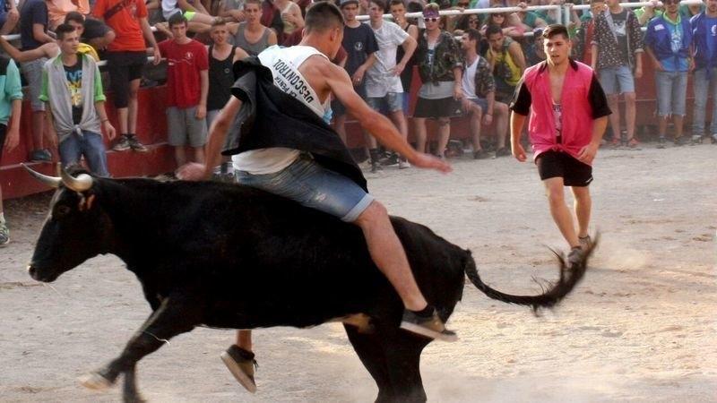 Santpedor farà una consulta popular sobre el futur de les vaquetes a  la Festa Major