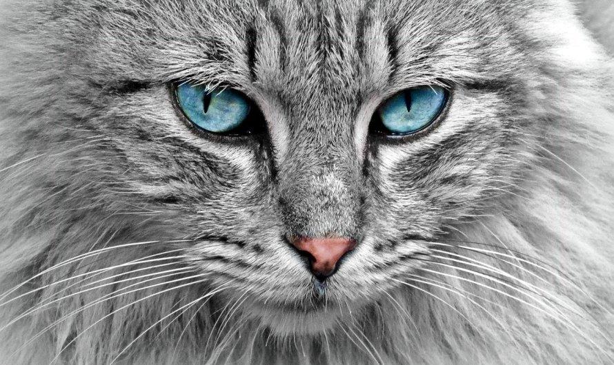 Un estudi dona suport a la teoria que els felins es poden infectar per coronavirus però no contagiar les persones