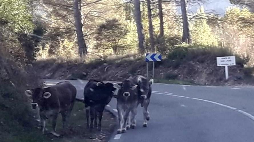 La vaca Vilar ja és al santuario Gaia de Camprodon