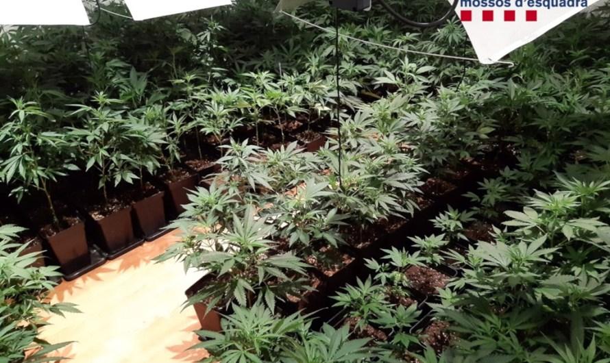 Dues detingudes a Manresa per cultivar prop de 500 plantes de marihuana en un pis