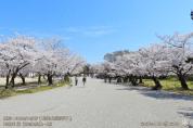 02_三の丸広場南-東向き・姫路城・2020.4.7 桜(緊急事態宣言解除日)