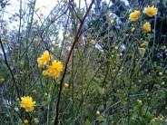 Lauriston 2014 Mar yellow