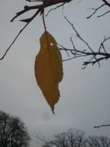 lauriston-2014-nov–leaf2