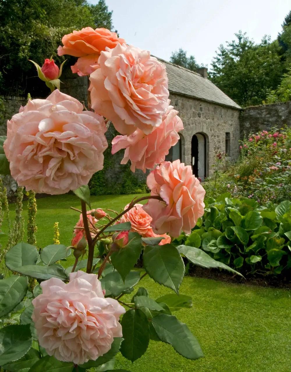 Rose garden at Drum Castle